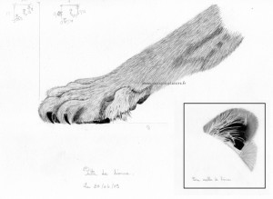 drawing of paw and ear of a lioness